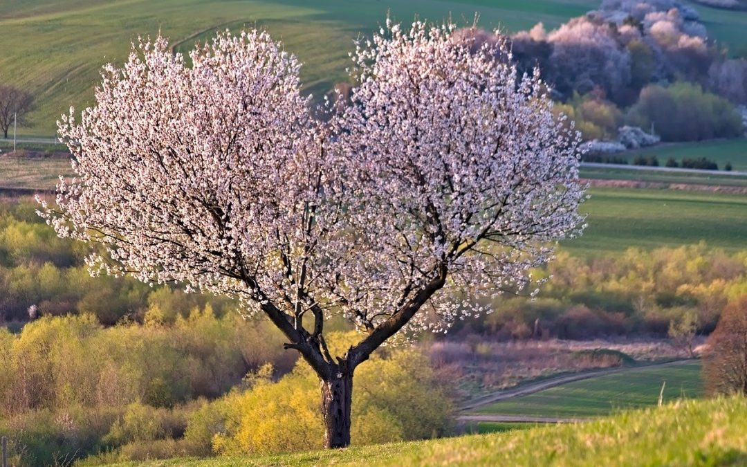 Cherry Trees: 5 Tips for Maintenance and Disease Prevention